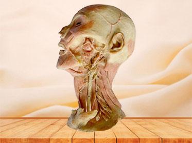 Espécimen Plastinado de Nervios y Vasos Profundos de Cabeza y Cuello