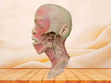 Espécimen Plastinado de Nervios y Vasos Profundos de Cabeza y Cuello para educación médica