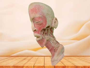 Nervios y Vasos Profundos de Cabeza y Cuello Espécimen Plastinado