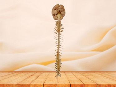 Espécimen Plastinado de Cerebro y Medula Espinal