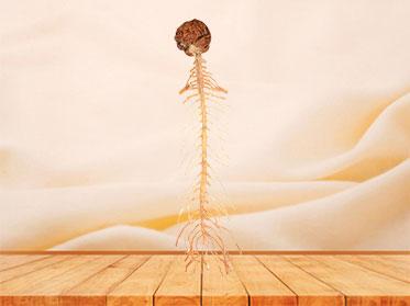 Plastinado de Cerebro y Medula Espinal