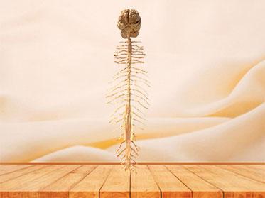 Cerebro y Medula Espinal Plastinación de organos
