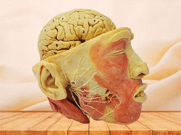 Espécimen Plastinado de Nervios Faciales con Cerebro