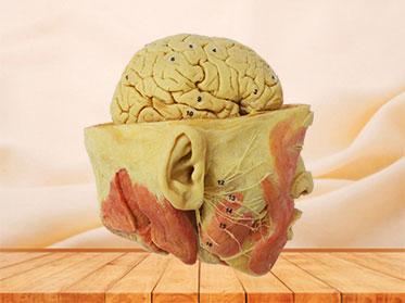 Plastinado de Nervios Faciales con Cerebro