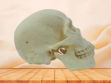 Esqueleto Humano con Dientes