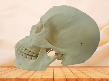 Esqueleto con Dientes para educación médica